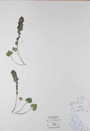 (Synthyris - BABY-09911)  @11 [ ] by (2017) Unspecified B.A. Bennett Yukon herbarium (BABY)