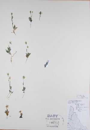 (Stellaria alaskana - BABY-10070)  @11 [ ] by (2017) Unspecified B.A. Bennett Yukon herbarium (BABY)