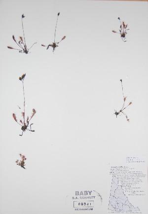 ( - BABY-09341)  @11 [ ] by (2017) Unspecified B.A. Bennett Yukon herbarium (BABY)