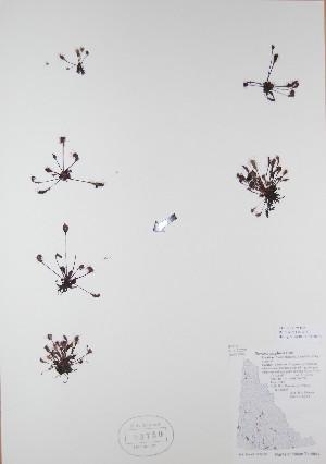 (Drosera anglica - BABY-03750)  @11 [ ] by (2017) Unspecified B.A. Bennett Yukon herbarium (BABY)