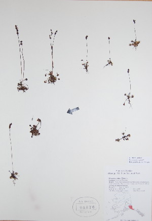 (Drosera rotundifolia - BABY-03876)  @11 [ ] by (2017) Unspecified B.A. Bennett Yukon herbarium (BABY)