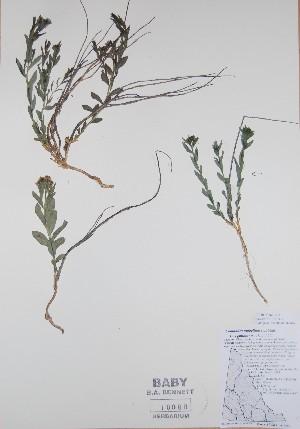 ( - BABY-10090)  @11 [ ] by (2017) Unspecified B.A. Bennett Yukon herbarium (BABY)