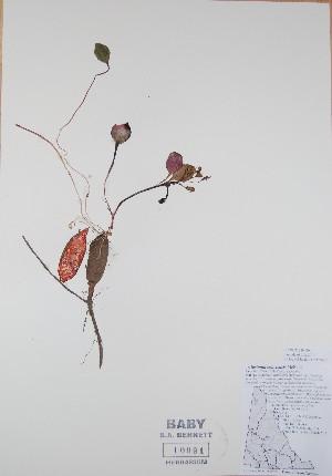 (Claytonia ogilviensis - BABY-10091)  @11 [ ] by (2017) Unspecified B.A. Bennett Yukon herbarium (BABY)