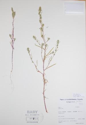 (Corispermum - BABY-08718)  @11 [ ] by (2017) Unspecified B.A. Bennett Yukon herbarium (BABY)