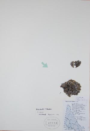 (Phlox hoodii - BABY-07714)  @11 [ ] by (2017) Unspecified B.A. Bennett Yukon herbarium (BABY)