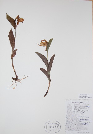 (Cypripedium parviflorum - BABY-01849)  @11 [ ] by (2017) Unspecified B.A. Bennett Yukon herbarium (BABY)