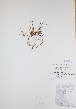 (Minuartia - BABY-04391)  @11 [ ] by (2017) Unspecified B.A. Bennett Yukon herbarium (BABY)