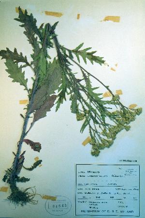 (Senecio eremophilus - CCDB-18323-C10)  @11 [ ] CreativeCommons - Attribution Non-Commercial Share-Alike (2012) Biodiversity Institute of ontario Unspecified