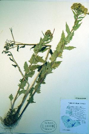 (Senecio sheldonensis - CCDB-18323-B10)  @11 [ ] CreativeCommons - Attribution Non-Commercial Share-Alike (2012) Biodiversity Institute of ontario Unspecified