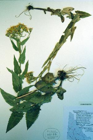 (Senecio triangularis - CCDB-18323-F11)  @11 [ ] CreativeCommons - Attribution Non-Commercial Share-Alike (2012) Biodiversity Institute of ontario Unspecified