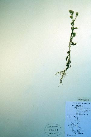 (Senecio viscosus - CCDB-18323-D11)  @11 [ ] CreativeCommons - Attribution Non-Commercial Share-Alike (2012) Biodiversity Institute of ontario Unspecified