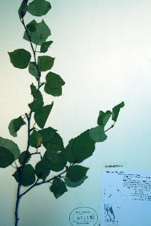 (Betula neoalaskana - CCDB-18325-G2)  @11 [ ] CreativeCommons - Attribution Non-Commercial Share-Alike (2012) Biodiversity Institute of ontario Unspecified