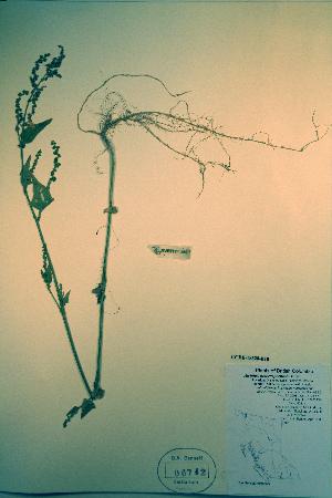 (Atriplex heterosperma - CCDB-18328-E10)  @11 [ ] CreativeCommons - Attribution Non-Commercial Share-Alike (2012) Biodiversity Institute of ontario Unspecified