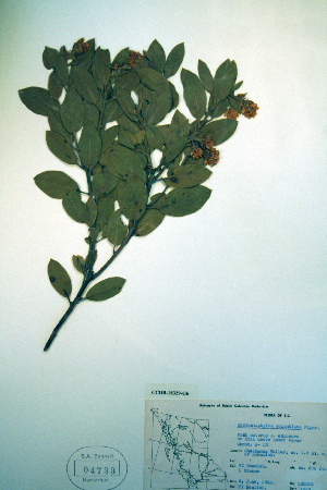 (Arctostaphylos columbiana - CCDB-18329-G6)  @11 [ ] CreativeCommons - Attribution Non-Commercial Share-Alike (2012) Biodiversity Institute of ontario Unspecified