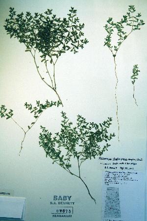 (Euphorbia glyptosperma - CCDB-18329-E11)  @11 [ ] CreativeCommons - Attribution Non-Commercial Share-Alike (2012) Biodiversity Institute of ontario Unspecified