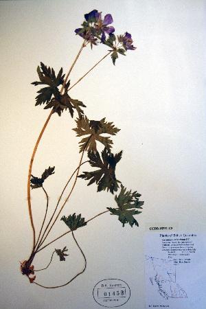 (Geranium erianthum - CCDB-18331-C5)  @11 [ ] CreativeCommons - Attribution Non-Commercial Share-Alike (2012) Biodiversity Institute of ontario Unspecified