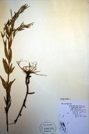 (Epilobium glandulosum - CCDB-18332-C5)  @11 [ ] CreativeCommons - Attribution Non-Commercial Share-Alike (2012) Biodiversity Institute of ontario Unspecified