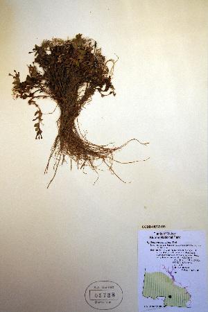 (Epilobium clavatum - CCDB-18332-H6)  @11 [ ] CreativeCommons - Attribution Non-Commercial Share-Alike (2012) Biodiversity Institute of ontario Unspecified