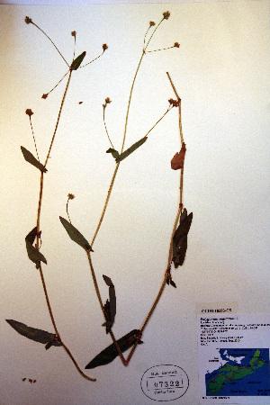 (Polygonum sagittatum - CCDB-18333-C5)  @11 [ ] CreativeCommons - Attribution Non-Commercial Share-Alike (2012) Biodiversity Institute of ontario Unspecified
