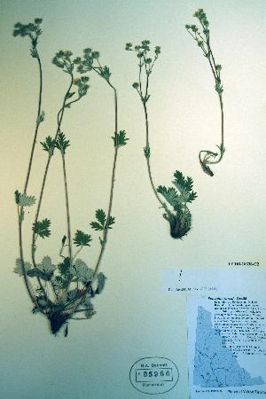 (Potentilla furcata - CCDB-18336-C2)  @11 [ ] CreativeCommons - Attribution Non-Commercial Share-Alike (2012) Biodiversity Institute of ontario Unspecified
