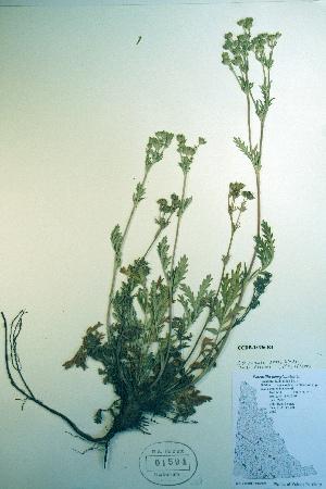 (Potentilla pensylvanica - CCDB-18336-E4)  @11 [ ] CreativeCommons - Attribution Non-Commercial Share-Alike (2012) Biodiversity Institute of ontario Unspecified