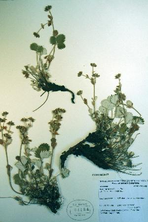 (Potentilla villosa - CCDB-18336-C5)  @11 [ ] CreativeCommons - Attribution Non-Commercial Share-Alike (2012) Biodiversity Institute of ontario Unspecified