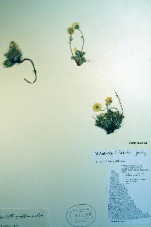 (Potentilla villosula - CCDB-18336-H6)  @11 [ ] CreativeCommons - Attribution Non-Commercial Share-Alike (2012) Biodiversity Institute of ontario Unspecified