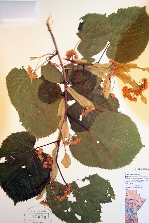 (Tilia americana - CCDB-18342-G10)  @11 [ ] CreativeCommons - Attribution Non-Commercial Share-Alike (2012) Biodiversity Institute of ontario Unspecified