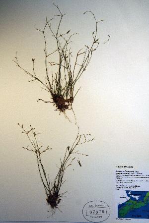 (Juncus pelocarpus - CCDB-18343-B4)  @11 [ ] CreativeCommons - Attribution Non-Commercial Share-Alike (2012) Biodiversity Institute of ontario Unspecified