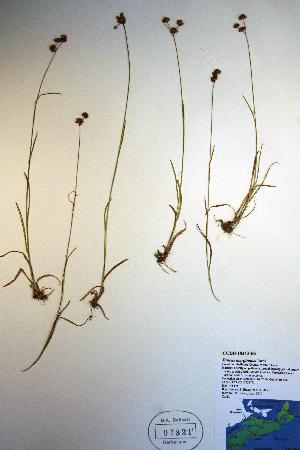 (Juncus marginatus - CCDB-18343-B5)  @11 [ ] CreativeCommons - Attribution Non-Commercial Share-Alike (2012) Biodiversity Institute of ontario Unspecified