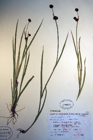 (Juncus ensifolius - CCDB-18343-D6)  @11 [ ] CreativeCommons - Attribution Non-Commercial Share-Alike (2012) Biodiversity Institute of ontario Unspecified