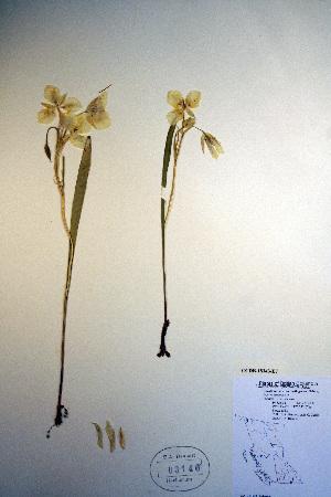 (Calochortus apiculatus - CCDB-18343-E7)  @11 [ ] CreativeCommons - Attribution Non-Commercial Share-Alike (2012) Biodiversity Institute of ontario Unspecified