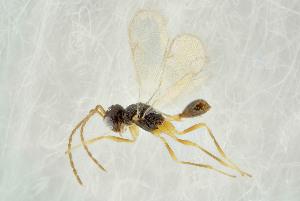 (Alaptus - BC-ZSM-HYM-21586-C09)  @14 [ ] by-nc-sa (2014) Stefan Schmidt SNSB, Zoologische Staatssammlung Muenchen