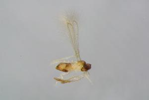 (Alaptus - BC-ZSM-HYM-22591-G07)  @12 [ ] by-nc-sa (2015) Stefan Schmidt ZSM (Zoologische Staatssammlung Muenchen)