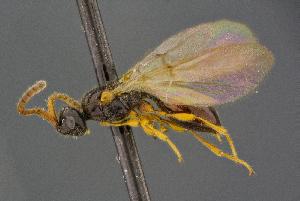 (Aneurhynchus - BC-ZSM-HYM-26828-G11)  @11 [ ] by-nc-sa (2016) SNSB, Staatliche Naturwissenschaftliche Sammlungen Bayerns ZSM (SNSB, Zoologische Staatssammlung Muenchen)