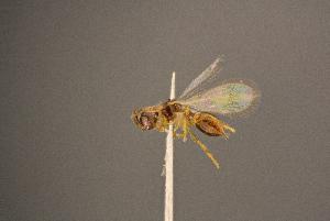 (Phaenopria - BC-ZSM-HYM-26829-H09)  @11 [ ] by-nc-sa (2016) SNSB, Staatliche Naturwissenschaftliche Sammlungen Bayerns ZSM (SNSB, Zoologische Staatssammlung Muenchen)