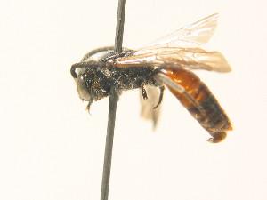 (Sphecodes reticulatus - BC ZSM HYM 17957)  @14 [ ] Unspecified (default): All Rights Reserved  Unspecified Unspecified