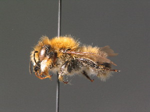 (Megachile nigriventris - BC ZSM HYM 18281)  @15 [ ] Unspecified (default): All Rights Reserved  Unspecified Unspecified