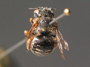 (Anthidium punctatum - BC ZSM HYM 18303)  @14 [ ] Unspecified (default): All Rights Reserved  Unspecified Unspecified