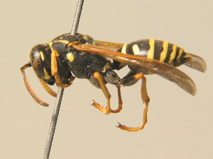 (Polistes nimpha - BC ZSM HYM 19396)  @14 [ ] Unspecified (default): All Rights Reserved  Unspecified Unspecified