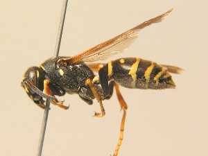 (Polistes biglumis - BC ZSM HYM 19404)  @14 [ ] Unspecified (default): All Rights Reserved  Unspecified Unspecified