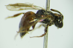 (Sphecodes pseudofasciatus - BC ZSM HYM 20104)  @11 [ ] Unspecified (default): All Rights Reserved  Unspecified Unspecified