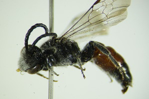 (Sphecodes spinulosus - BC ZSM HYM 21962)  @11 [ ] Unspecified (default): All Rights Reserved  Unspecified Unspecified