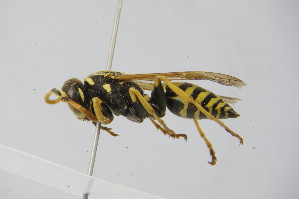 (Polistes semenowi - BC ZSM HYM 22041)  @14 [ ] Unspecified (default): All Rights Reserved  Unspecified Unspecified