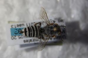 (Megachile patellimana - BC ZSM HYM 22620)  @13 [ ] Unspecified (default): All Rights Reserved  Unspecified Unspecified