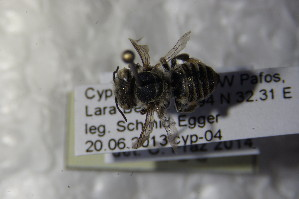 (Megachile fertoni - BC ZSM HYM 22645)  @13 [ ] CreativeCommons - Attribution Non-Commercial Share-Alike (2015) SNSB, Zoologische Staatssammlung Muenchen SNSB, Zoologische Staatssammlung Muenchen