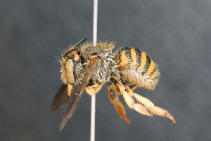 (Anthidium sp - BC ZSM HYM 23638)  @11 [ ] Unspecified (default): All Rights Reserved  Unspecified Unspecified
