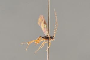 (Ctenopelmatinae - BC ZSM HYM 24060)  @15 [ ] CreativeCommons - Attribution Non-Commercial Share-Alike (2014) Stefan Schmidt SNSB, Zoologische Staatssammlung Muenchen