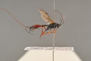 (Leptacoenites - BC ZSM HYM 24348)  @14 [ ] CreativeCommons - Attribution Non-Commercial Share-Alike (2014) Stefan Schmidt SNSB, Zoologische Staatssammlung Muenchen