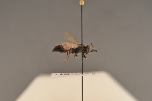 (Tachysphex strigosus - BC ZSM HYM 24600)  @14 [ ] CreativeCommons - Attribution Non-Commercial Share-Alike (2015) SNSB, Zoologische Staatssammlung Muenchen SNSB, Zoologische Staatssammlung Muenchen